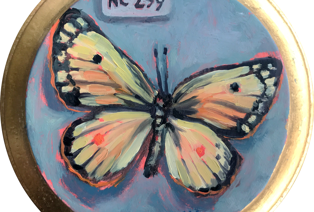 Specimen NC 259 | Clouded Yellow Butterfly