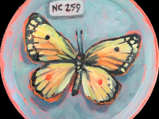 Specimen | NC 259 Butterfly