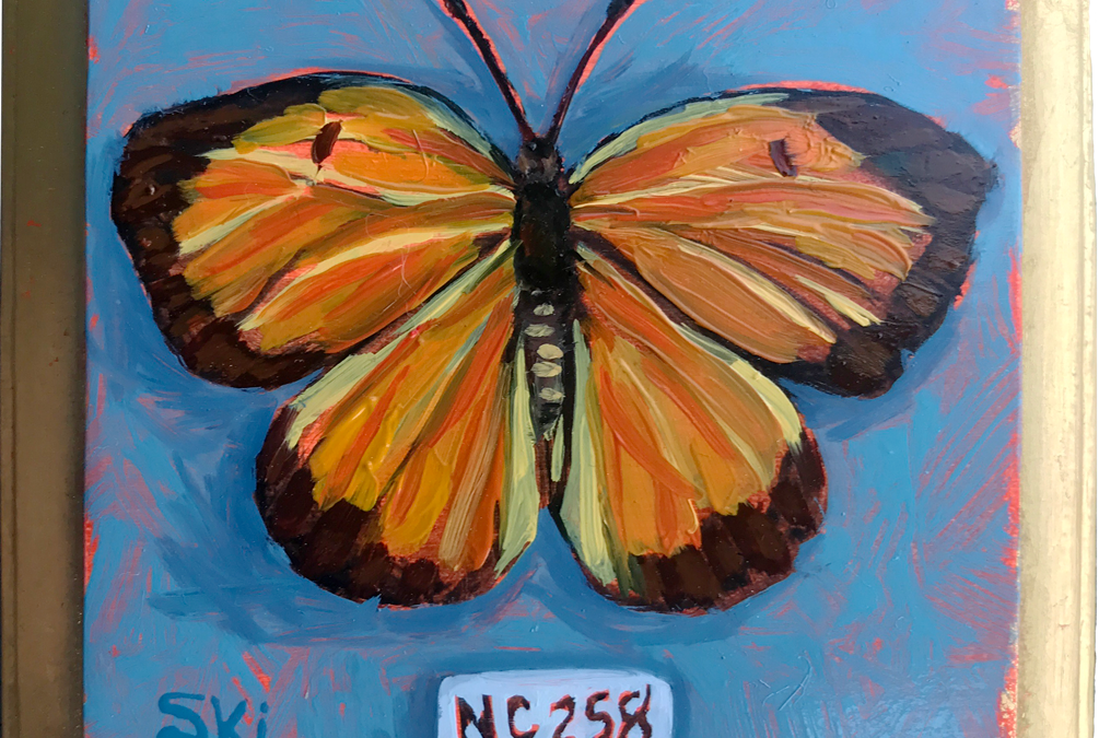 Specimen NC 258 | Sleepy Orange Butterfly