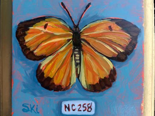 Specimen NC 258 | Sleepy Orange Butterfly