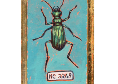 Specimen NC 2269 | Hunter Ground Beetle